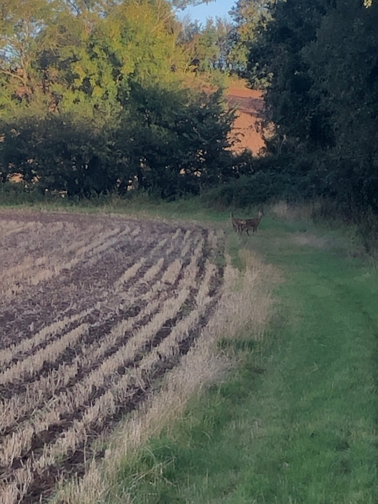 """alt='two wild deer at edge ploughed field near hedge"""""""